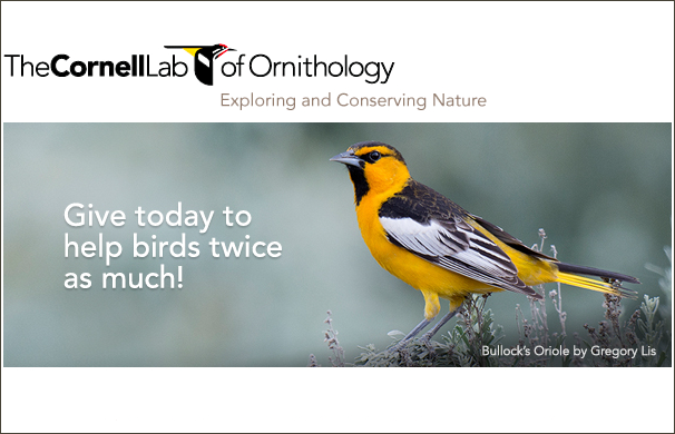 Cornell Lab Year-end 2016 email header featuring Bullocks Oriole